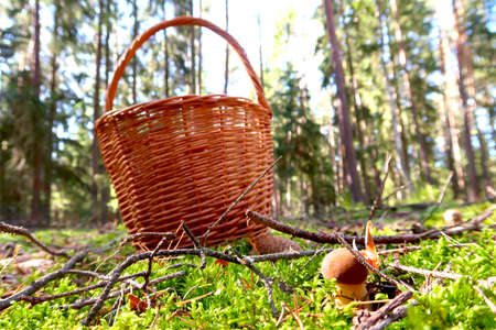 Mushroom picking concept with wicker basket standing on the ground and mushroom in the front. Blurred forest in the background. Autumn sunny day. Harvesting edible mushroom in woodland.