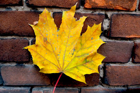 Yellow autumn maple leaf on the rustic brick wall