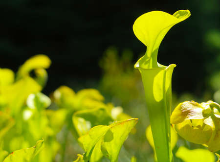 Carnivorous flower Sarracenia Flava (Pitcher plant) in the summer sun