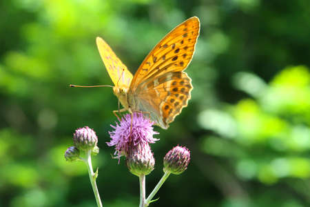 Silver-washed fritillary butterfly (Argynnis paphia) sitting on a purple thorny thistle flower.  Wings in deep orange color with black spots on the upperside. Closeup with blurred background. Фото со стока