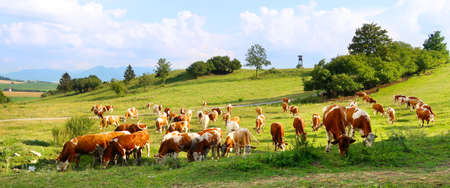 Cow herd on the meadow with hunter tower in the background. Liptov panorama - Low Tatras and Liptovkska Mara water lake reservoir. Summertime in the Slovak Republic, Europe.