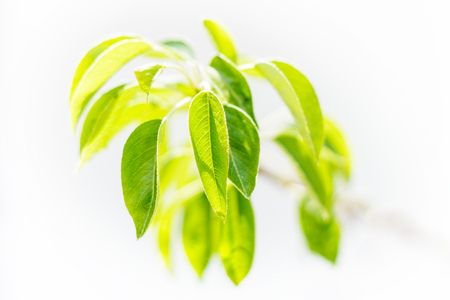Pear Tree Leaves on Branch Isolated on Light Background Imagens