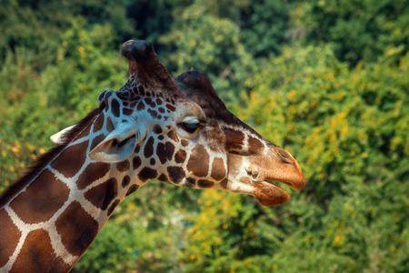 Giraffe Head with Forest on Background Banque d'images - 119185844