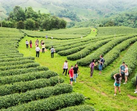 Tourists visiting tea farm on Doi Mae Salong ,Chiang Rai, Thailand