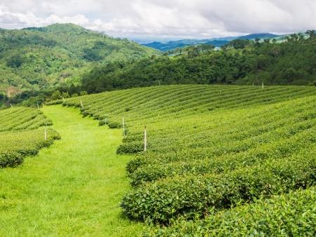 Tea farm on Doi Mae Salong, Chiang Rai,  Thailand photo