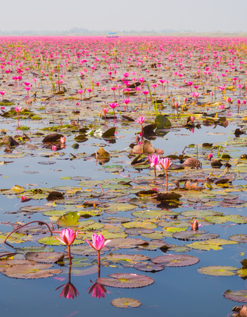 Boat Tour in Large Lake of Blooming Pink Lotus or Water Lily, Thailand photo