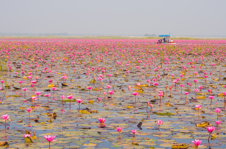 nympha: Boat Tour in Large Lake of Blooming Pink Lotus or Water Lily, Thailand