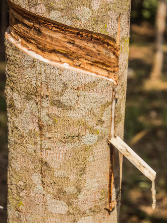 tapper: Latex of para rubber from rubber tree or Hevea brasiliensis