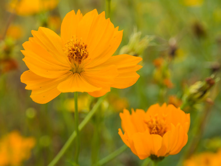 androecium: Beautiful yellow flower of Cosmos or Mexican aster  Cosmos sulphureus