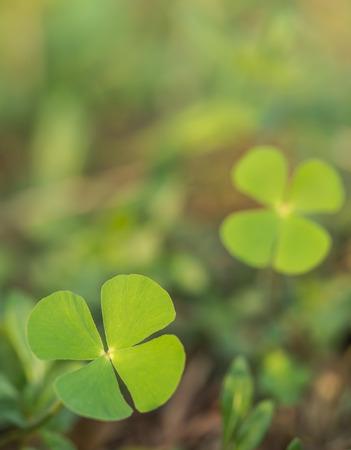 marsilea: Beautiful green leaves of Water clover  Water fern, Pepperwort  Marsilea crenata Presl