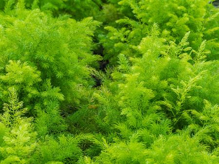 ulceras: Arbusto verde fresco de Shatavari Asparagus racemosus Willd