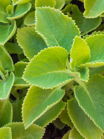 aural: Closeup fresh green herb called Indian borage  Plectranthus amboinicus Lour Spreng  , Thailand Stock Photo