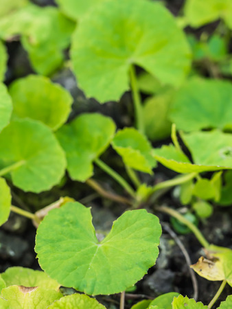 Closeup fresh green herb called Asiatic Pennywort or Indian pennyrort  Centelia  asiatica  L   Urban , Thailand photo