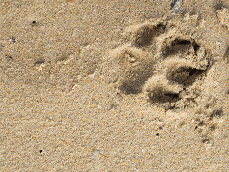 Single dog pawprint on sand beach, Thailand photo