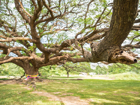 samanea saman: Over 100-year-old big Rain Tree (Samanea saman) Stock Photo