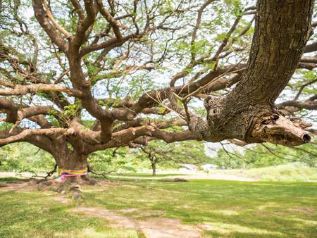 samanea saman: Over 100-year-old big Rain Tree (Samanea saman) Stock Photo