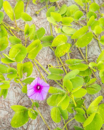 antihistamine: Closeup fresh flower bud of Beach Morning Glory (Ipomoea pes-caprae), Thailand Stock Photo