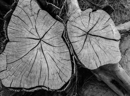 felled: Stump of felled tree closeup details Stock Photo
