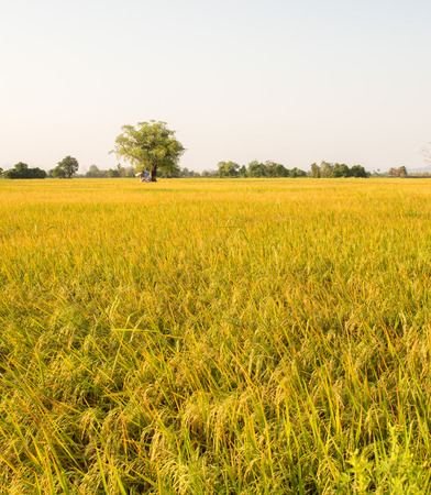 hybridization: Rice field before  harvest