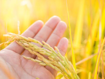 農家の米の耳