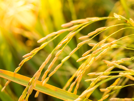 hybridization: Ear of rice before harvest