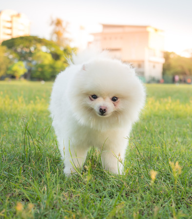 dysplasia: Cute white  Pomeranian or Pom playing on the lawn