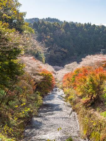 winter cherry: Beautiful winter cherry blossom called Shikizakura with autumn foliage in Obara, Aichi, Japan