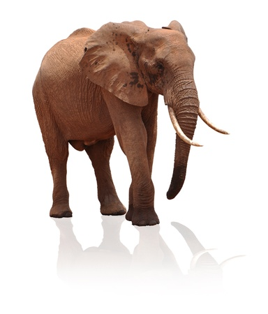 Isolated Elephant photo