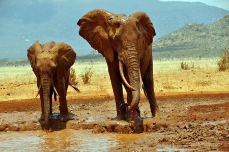 waterhole: Los elefantes africanos en una charca
