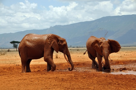 African elephants at a waterhole photo