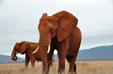 African Elephants photo