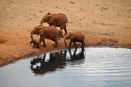 pozo de agua: Los elefantes africanos en un pozo de agua Foto de archivo