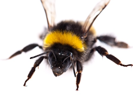 Isolated Bumblebee on white background (macro shot)