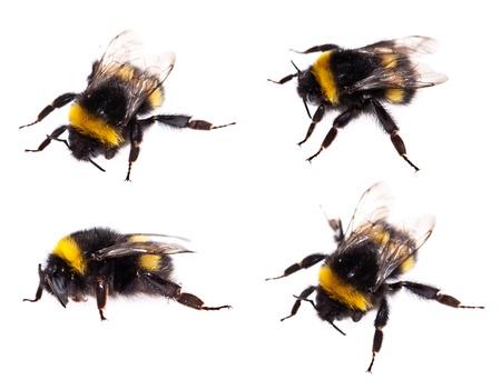 abeja: Bumblebee aislado en el fondo blanco (macro shot)