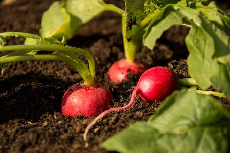 Fresh Radishes growing in the Garden photo