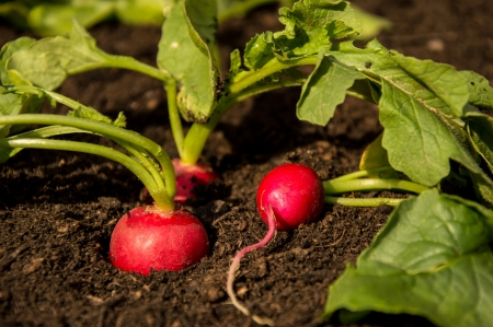 Fresh Radishes growing in the Garden Stock Photo