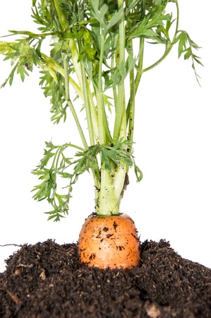 Carrot in earth isolated on white background photo