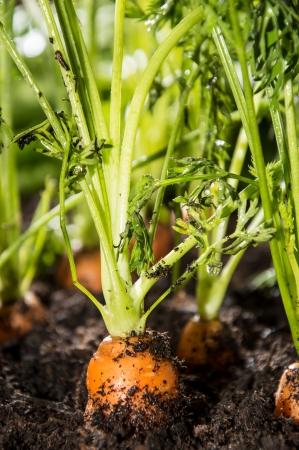 Wet Carrots in the dirt  macro shot Stock Photo - 14892855