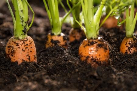 zanahoria: Macro shot de algunas zanahorias en la tierra