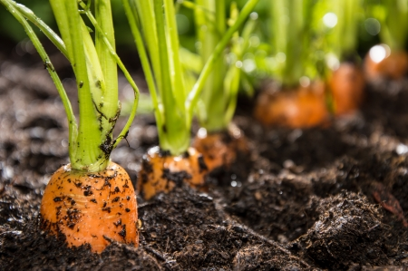 Macro shot of some Carrots in the dirt Stock Photo