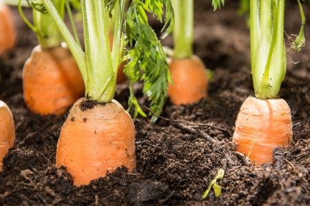 Wet Carrots in the dirt  macro shot  photo