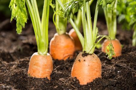 carrots: Algunas Zanahorias en la macro suciedad tiro Foto de archivo