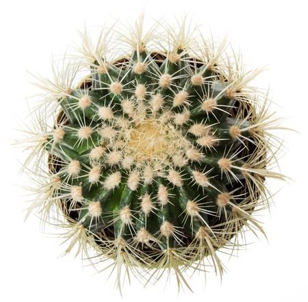 cactus botany: Cactus isolated on white background
