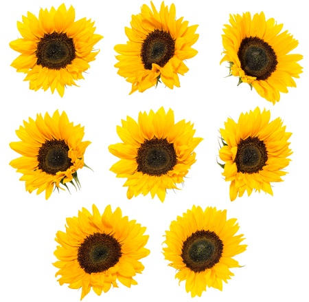 Differen Sunflowers isolated on white background (High Res-Picture) photo