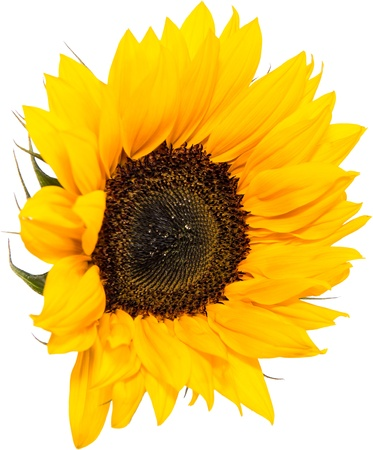 Sunflower Head isolated on white background photo