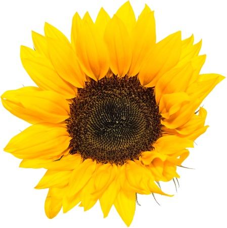 Sunflower Head isolated on white background Stock Photo - 21048039