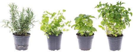 Collage of Rosemary, Oregano, Mint and Basil Plants isolated on white photo