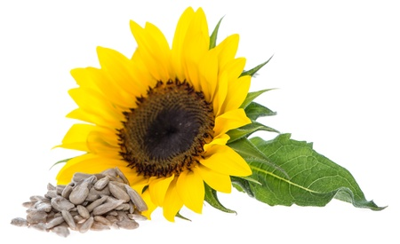 Sunflower with Seeds isolated on white background photo