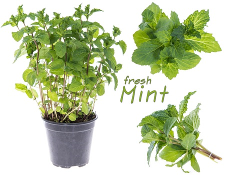 Collage of fresh Mint isolated on white photo