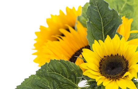 Sunflowers isolated on white background photo
